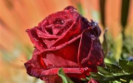 Vorschau des Hintergrundbilder Eine rote Rose Makrophotographie, Blumenblätter, Wassertröpfchen