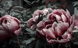 Preview wallpaper Pink peonies, petals, flowers, water droplets, garden