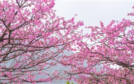 Preview wallpaper Pink sakura, bloom, spring, trees, beautiful flowers