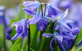 Первоцветы, фиолетовые цветы, лепестки