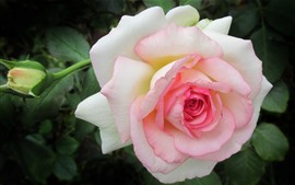 Роза, белые и розовые лепестки, весенний цветок