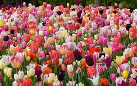 Preview wallpaper Spring, garden flowers, colorful tulips