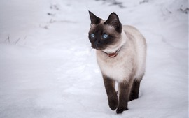 Preview wallpaper Thai cat, blue eyes, snow