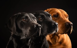 Preview wallpaper Three dogs, black background