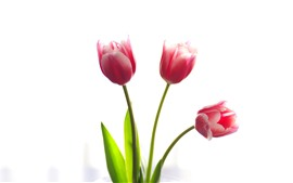 Preview wallpaper Three pink tulips, white background