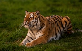 Preview wallpaper Tiger cub, pose, rest, grass