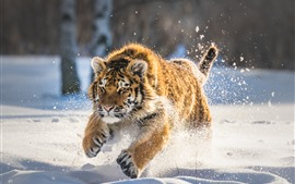 Preview wallpaper Tiger running in the snow, winter