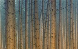 Trees, forest, dawn, fog