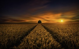 Preview wallpaper Wheat field, lonely tree, sunset