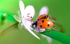 Preview wallpaper White flower, ladybug