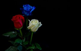 Preview wallpaper White, red, blue, three colors roses, black background