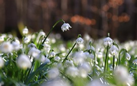 White snowdrops, flowers close-up, spring