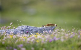 Wildlife, ermine, flowers