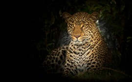 Preview wallpaper Wildlife, leopard, face