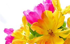 Yellow and pink tulips, flowers, white background