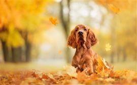 茶色の犬、見て、カエデの葉、秋