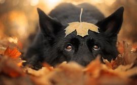Cachorro preto, folha de plátano, obscuro