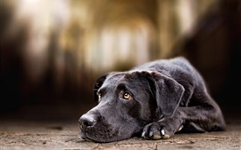 Preview wallpaper Black dog, sadness, look, eyes