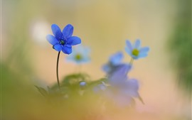 Preview wallpaper Blue flowers, petals, hazy