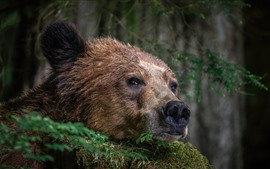Preview wallpaper Brown bear, face, nose, look
