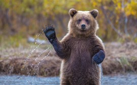 Preview wallpaper Brown bear, paw, pose, river