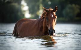 Brown horse in water, depth