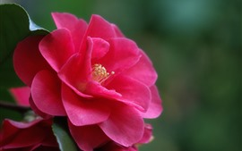 Preview wallpaper Camellia macro photography, pink flower, petals