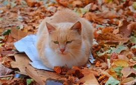 Cat resto, chão, folhas amarelas, outono
