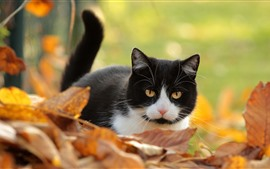 Cute kitten, black and white, yellow foliage, autumn