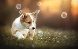 Preview wallpaper Cute puppy play bubbles