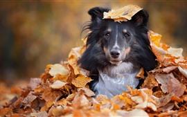 Собака спрятана в листьях, осень