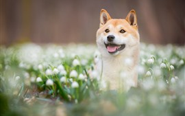 Preview wallpaper Dog, look, snowdrops, white flowers