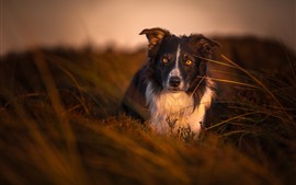 Preview wallpaper Dog, look, yellow eyes, dusk, nature