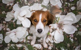 Preview wallpaper Dog, white flowers, petals