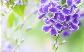 Duranta, pétales blancs violets