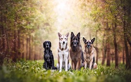 Four dogs, forest, grass