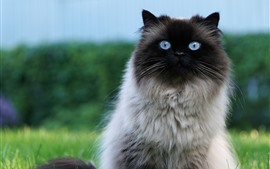 Preview wallpaper Furry cat, blue eyes, look, grass