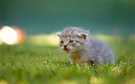 Preview wallpaper Furry kitten, grass, cute animal