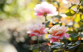 Preview wallpaper Garden flowers, pink roses, hazy