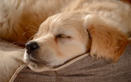 Golden Retriever, durmiendo