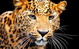 Jaguar, cara, fondo negro
