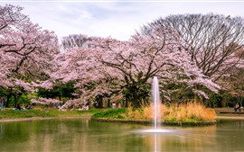 Preview wallpaper Japan, sakura, flowers blooms, park, pond