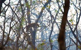 Leopardo, suba na árvore, animais selvagens