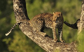 Leopardo, árvore, olhe para trás