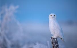 预览壁纸 孤独的白色猫头鹰,冬天