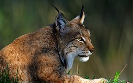 Preview wallpaper Lynx, wildlife, rest, look
