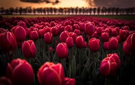 Preview wallpaper Many red tulips, flowers field, dusk