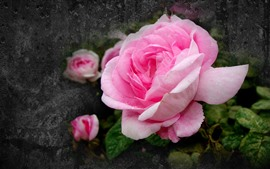 Rosas rosadas, gotas de agua, pétalos, pared