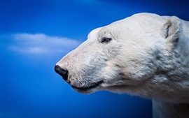 Preview wallpaper Polar bear, head, eyes, blue background
