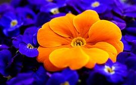 Primula, fleurs orange et violettes
